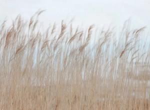 Fototapet premium, model 3d, coasta marina Swaying Reed, dimensiuni pe comanda